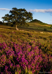 Bell Heather Moorland (Dave Snowdon (Wipeout Dave)) Tags: davidsnowdonphotography canoneos80d landscape northyorkshire northyorkmoors hawnby hawnbyhill bellheather heather tree hill moors moorland summer