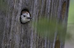Young white-headed Woodpecker (male) (Lisa Roeder) Tags: whiteheadedwoodpecker woodpecker birds wildlife nature natgeo