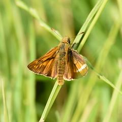 Large Skipper, Dinton Pastures (rq uk) Tags: rquk nikon d750 dintonpastures nikond750 tamronspaf150600mmf563divcusd butterfly largeskipper