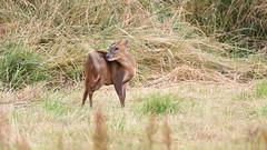 Muntjac Deer, Dinton Pastures (rq uk) Tags: rquk nikon d750 nikond750 tamronspaf150600mmf563divcusd dintonpastures bitternhide muntjac deer