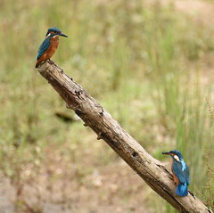 Two Male Kingfishers, Dinton Pastures (rq uk) Tags: rquk nikon d750 dintonpastures bitternhide nikond750 tamronspaf150600mmf563divcusd kingfisher male