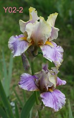 Y02-2 (Roberto Marucchi) Tags: iris flowers blooms beardediris brokencolor