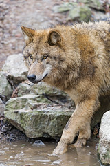 Pretty wolf in the cold pond (Tambako the Jaguar) Tags: wolf canine canid mongolian dog standing posing portrait face pond water cold winter ice looking zürich zoo switzerland nikon d5