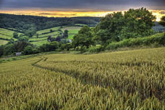 Work  S P A C E (rmrayner) Tags: wheatfield devon dusk countryside parishchurch work workplace job ripening hedge hdr landscape ashcombe farming farm agriculture wheat crop sunset 52weeks27outtakes