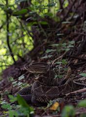 Central American Rattlesnake (Crotlaus simus) (Saundersdrukk) Tags: centralamericanrattlesnake crotlaussimus central american rattlesnake crotlaus simus snake guatemala