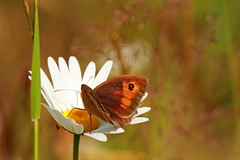Meadow Brown Butterfly (jon lees) Tags: wildlifewatching wildlife countydown northernireland whitespots lead mines newtownards