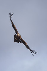 Wedgetail eagle flypast. (jennospics) Tags: wedgetaileagle wedgetail eagle wedgetailed