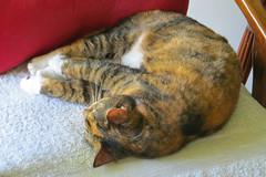 Gracie 8 May 2019 2930Ri 4x6 (edgarandron - Busy!) Tags: cat cats kitty kitties tabby tabbies cute feline gracie patchedtabby