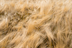 Barley texture 2 (toniertl) Tags: toniphotoxoncouk tags crop golden ripe feathery awns soft cereal beer summer sunshine warm dry holidays cornfields barley ears oxfordshire hamptonpoyle homecounties farming agriculture