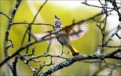American Redstart (Setophaga ruticilla) (Steve Arena) Tags: wachusettview westboro westborough worcestercounty massachusetts nikon migration rain 2019 d750 americanredstart redstart amre setophagaruticilla