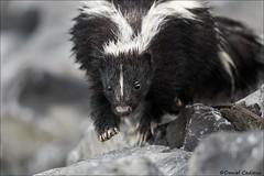 Skunk On The Move (Daniel Cadieux) Tags: skunk stripedskunk walk walking mammal wildlife blackandwhite petrieisland ottawa