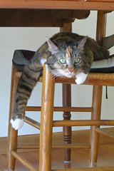 Gracie 8 May 2019 2938Ri 4x6 (edgarandron - Busy!) Tags: cat cats kitty kitties tabby tabbies cute feline gracie patchedtabby