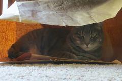 Millie 8 May 2019 2935Ri 4x6 (edgarandron - Busy!) Tags: cat cats kitty kitties tabby tabbies cute feline millie graytabby