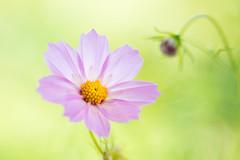 cosmos 2162 (junjiaoyama) Tags: japan flower cosmos plant summer pink bokeh macro composition