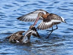 Godwit F00745 Burton Mere RSPB D210bob DSC_8265 (D210bob) Tags: godwit burtonmererspb d210bob dsc8265 nikond7200 birdphotography birdphotos naturephotography naturephotos nikon wildlifephotography nikon200500f56 cheshire f00745