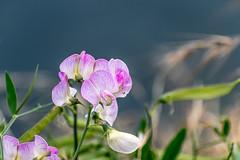 Sweet Pea Flowers Along the Riverbank 2 of 3 (Orbmiser) Tags: nikonafpdx70300mmf4563gedvr d500 nikon oregon portland sweetpea flowers riverbank willametteriver