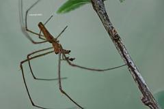 Tetragnathidae male (Phil Arachno) Tags: france salles leyre aquitanien spider spinne tetragnathidae arachnida chelicerata