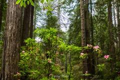 Enchanted Forest (Liping Photo) Tags: lipingphoto lipingyu canon5dmarkiv crescentcity redwoodnationalpark california