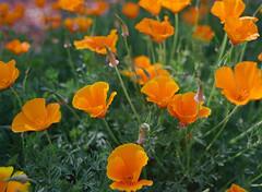 Santa Clara, California (bior) Tags: flowers santaclara california portra portra400uc kodakportra pentax645nii pentax645 6x45cm mediumformat film 120 poppy poppies californiapoppies