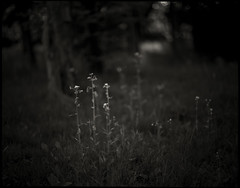 spring scenery #30 (moonchild1111) Tags: kodaktmax100 pentax67 supertakumar105mmf24 6x7 67 monochrome noiretblanc