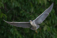 Bihoreau gris / Black-crowned night heron (Sammyboy77) Tags: bihoreaugris blackcrownednightheron inflight