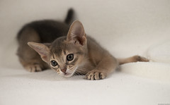 One of the Blue 5 (peter_hasselbom) Tags: cat cats kitten kittens abyssinian blue 7weeksold onwhite flash 1flash 105mm