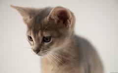 Another Blue (peter_hasselbom) Tags: cat cats kitten kittens abyssinian blue 7weeksold portrait head onwhite flash 1flash 105mm