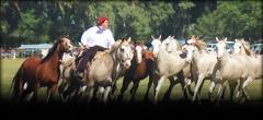Los salinos (Eduardo Amorim) Tags: cavalos caballos horses chevaux cavalli pferde caballo horse cheval cavallo pferd cavalo cavall tropilla tropilha herd tropillas tropilhas 馬 حصان 马 лошадь crioulo criollo crioulos criollos cavalocrioulo cavaloscrioulos caballocriollo caballoscriollos ayacucho provinciadebuenosaires buenosairesprovince argentina sudamérica südamerika suramérica américadosul southamerica amériquedusud americameridionale américadelsur americadelsud eduardoamorim gaucho gauchos gaúcho gaúchos