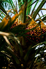 _DSC0722 (relishedmonkey) Tags: uae al ain abu dhabi nikon d750 people things life summer vacation desert arabian dates fruits