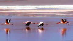 James flamingos. Laguna colorada, Bolivia (ravalli1) Tags: bolivia altiplano flamingo birds wildlife nature andes southamerica james puna lagunacolorada