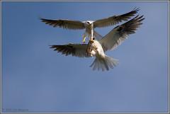The Exchange 2612 (maguire33@verizon.net) Tags: bif elanusleucurus pradoregionalpark whitetailedkite bird birdofprey kite raptor wildlife
