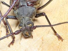 Aegosoma scabricorne (kahhihou) Tags: taxonomy:kingdom=animalia animalia taxonomy:phylum=arthropoda arthropoda taxonomy:subphylum=hexapoda hexapoda taxonomy:class=insecta insecta taxonomy:subclass=pterygota pterygota taxonomy:order=coleoptera coleoptera taxonomy:suborder=polyphaga polyphaga taxonomy:infraorder=cucujiformia cucujiformia taxonomy:superfamily=chrysomeloidea chrysomeloidea taxonomy:family=cerambycidae cerambycidae taxonomy:subfamily=prioninae prioninae taxonomy:tribe=aegosomatini aegosomatini taxonomy:genus=aegosoma aegosoma taxonomy:species=scabricorne taxonomy:binomial=aegosomascabricorne aegosomascabricorne körnerbock tesaříkdrsnorohý aegosomescabricorne