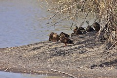 Anas platyrhynchos diazi Ridgway, 1886 (carlos mancilla) Tags: aves pájaros birds patos ducks anasplatyrhynchosdiaziridgway1886 anasplatyrhynchosdiazi patomexicano patodecollarmexicano mexicanduck mexicanmallard anseriformes anatidae canoneos550d canoneosrebelt2i ef70300mmf456isusm