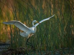 Delicate Landing (scott5024) Tags: common egret flying fishing wildlife burnham prairie birds wild