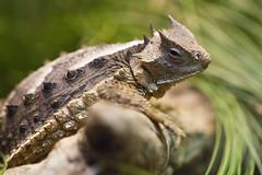 IMG_5345 (San Diego Shooter) Tags: macro reptile sandiego bokeh reptiles zoo sandiegozoo
