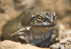 Colorado River Toad (San Diego Shooter) Tags: macro reptile sandiego bokeh reptiles zoo sandiegozoo coloradorivertoad toad colorado