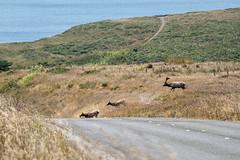Bringing up the Rear (lennycarl08) Tags: tuleelk elk drakesbay pointreyesnationalseashore pointreyes animalplanet wildlife