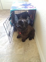 0621191637 (lawatha) Tags: bailey dog 4 legged family cairnterrier cairn terrier