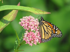 monarch nectaring on swamp milkweed (Cheryl Dunlop Molin) Tags: monarch monarchonmilkweed swampmilkweed butterflyonflowers monarchbutterfly milkweed butterfly insect flower wildflower flickrlounge insectswhatbugsyou