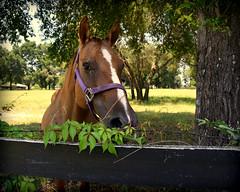 Country Charm (gatorgalpics) Tags: horse eye interested marioncounty cr318 florida myflorida july4th hot explore69 friendly