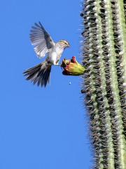 Rufous-winged Sparrow (Aimophila carpalis) (francisgmorgan) Tags: rufouswingedsparrow sparrow saguarocactus