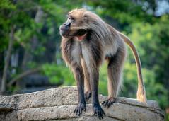 Ethiopian Mountain Monkey [In Explore 07/09/19] (helenehoffman) Tags: africa africarocks theropithecusgelada conservationstatusleastconcern semienmountains mammal gelada grass oldworldmonkey monkey sandiegozoo ethiopianhighlands animal