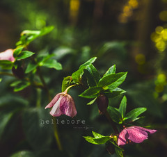 Hellebore (jenni 101 - on and off for a while) Tags: 100xflowers australia fff flowersplants forestgladegardens mtmacedon nikond7200 sigmaart18 victoria winter bokeh bright flowers macro photographybyjen pretty