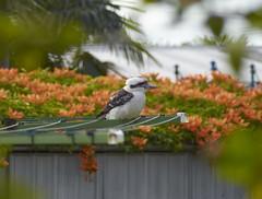 (mblaeck) Tags: kookaburra treekingfisher kingfisher bird animal nature