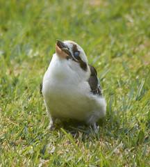 (mblaeck) Tags: kookaburra treekingfisher kingfisher bird animal nature eating