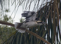 (mblaeck) Tags: kookaburra treekingfisher kingfisher bird animal nature flying flight