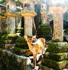 Curious Deer (Photo Peasant) Tags: deer shrine temple nature nara japan kyoto ngc stone green animal wildlife bright japanese moss