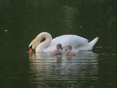Swan and cygnets (Sean_Marshall) Tags: swan cygnets stratford ontario