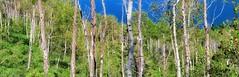 Aspen Line and Me (reflection below) (Robert Cowlishaw (Mertonian)) Tags: aspens hiking panoramic canon powershot sx70hs canonpowershotsx70hs mertonian robertcowlishaw nature wilderness ineffable awe wonder beautiful beauty trees mountains 4wisdom rockymountains