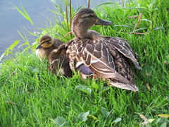 Duck and ducklings (Sean_Marshall) Tags: stratford ontario duck ducklings